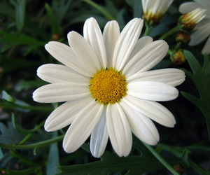 flower and daisy image