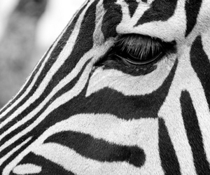 zebra and black and white image