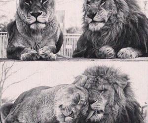animals, black and white, and Leo image