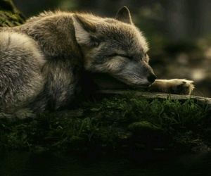 animal, forest, and lobo image