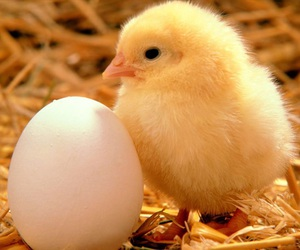 Chick, animal, and easter image