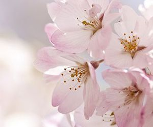 blossom, pink, and flower image