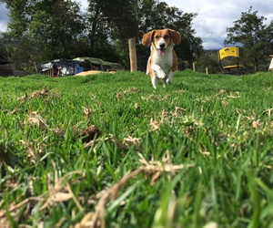 beagle++ and dog image