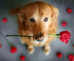 dog, rose, and cute image