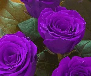 roses, flowers, and purple image