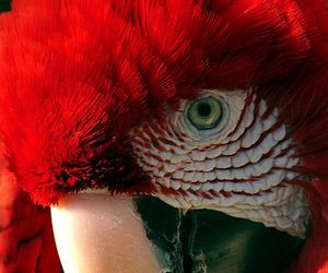 bird, parrot, and red image