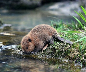 animal, beaver, and cute image