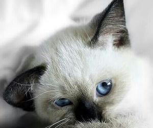 animal, feline, and kitten image