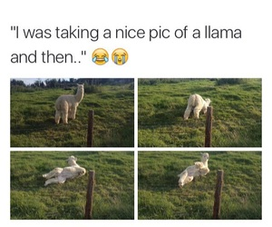 funny, tumblr post, and llama image
