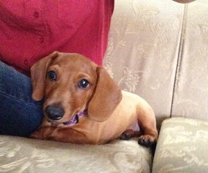 dachshund, puppy, and dachshunds image