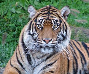 tiger, tijger, and tigri image