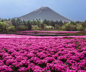 flowers, fuji, and japan image