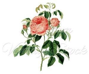 antique, etsy, and vintage rose image