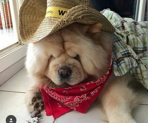 chow chow and cute image