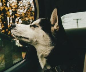 husky image