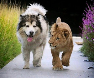 dog, animals, and lion image