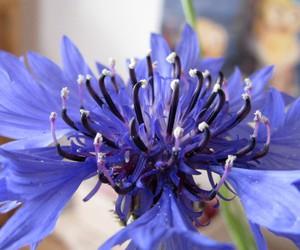 bloom, cornflower, and blue image