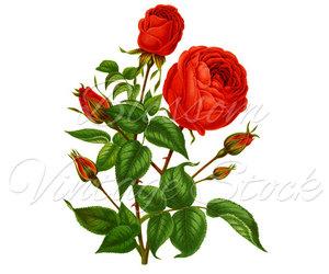 antique rose, digital rose, and rose png image
