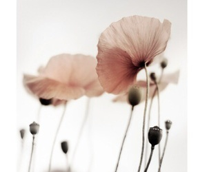 flowers, poppy, and pink image