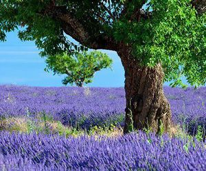 nature, lavender, and photography image