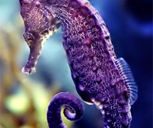 seahorse, purple, and animal image