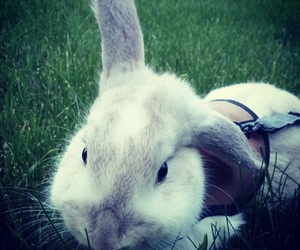 bunny, mini lop, and outside image