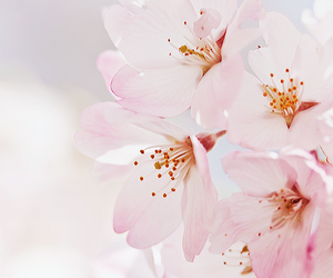 flowers, spring, and sakura image