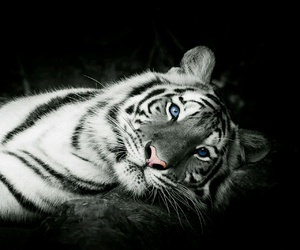 black and white, tiger, and cats image