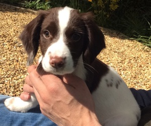 puppy, springer, and cutepuppy image
