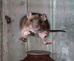 jumping, rat, and rats image