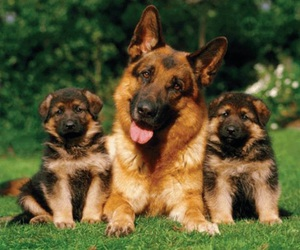 aww, aleman, and dogs image