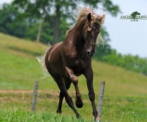 rocky mountain horse image