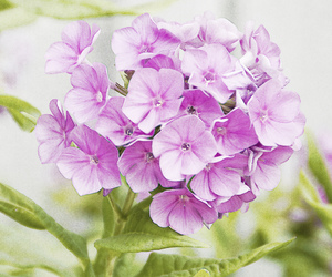 flowers, hydrangea, and pink image