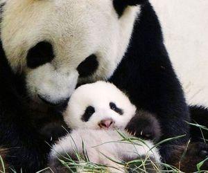 panda, cute, and adorable image