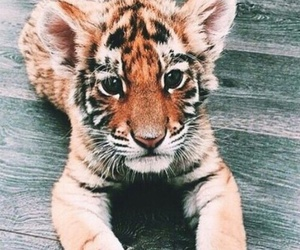animal, tiger, and cute image