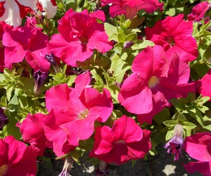 flowers, green, and petunia image