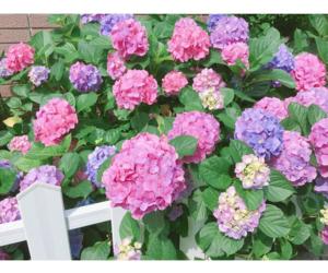 flowers, hydrangea, and beautiful image