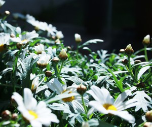 dasies, flowers, and summer image