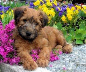 irish, Terrier, and puppy image