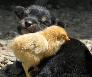puppy, Chick, and dog image
