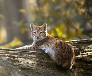 animal, lynx, and cute image
