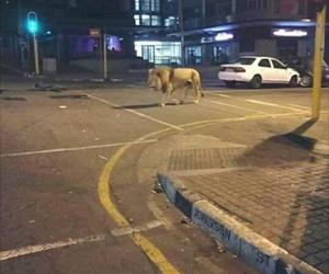 lion, animal, and street image