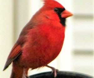 bird, photography, and cardinal image