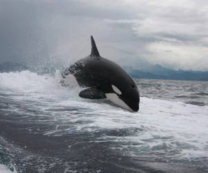 ocean, orca, and sea image