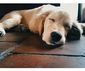 cutie, dogs, and golden retriever image