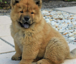 chow chow, dog, and puppy image