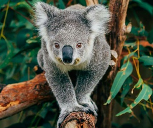 animali, australia, and Koala image