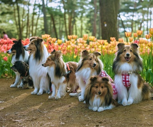 collie and dogs image