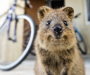 animal, quokka, and cute image