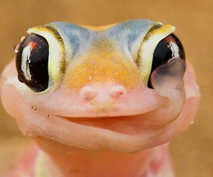 animal, lizard, and gecko image